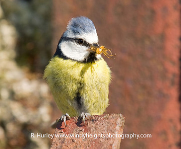 Blue Tit Bringing food for it's chicks. Photographer - Richard Hurley