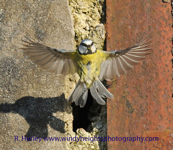 Blue Tit<br /> Leaving the nest in the wall after feeding chicks. Photographer - Richard Hurley