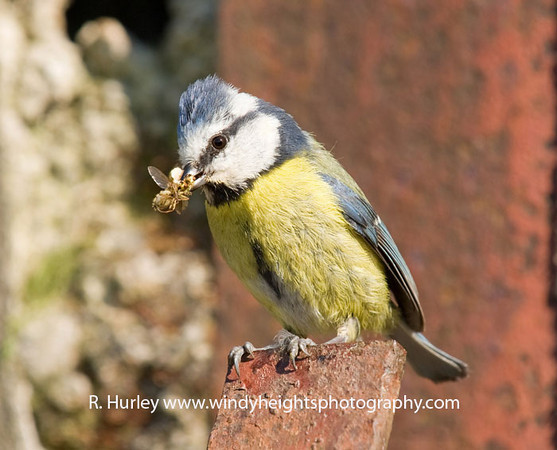 Blue Tit<br /> Bringing food for it's chicks. Photographer - Richard Hurley