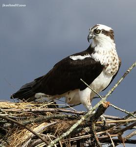 Blythe Ferry Osprey