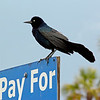 Boat-Tailed Grackle <br /> Tybee Island