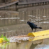 Boat-Tailed Grackle<br /> Tybee Island