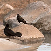 Boat-Tailed Grackles<br /> Tybee Island