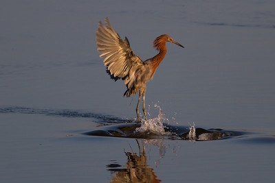 Reddish Egret Surprised