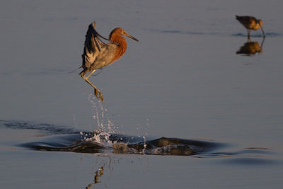 Reddish Egret Surprised # 2