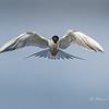 """""""Kiting"""" Forster's Tern"""