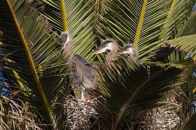 3 young herons