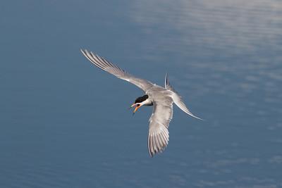 Tern with attitude