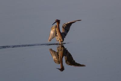 Bolsa Chica Reddish Egret
