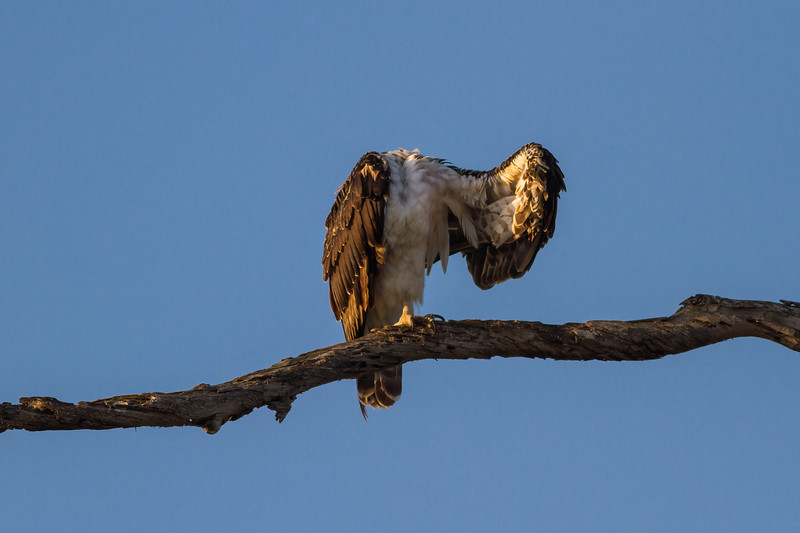 The Headless Osprey