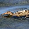 Clapper Rail - Bolsa Chica Wetlands, Huntington Beach