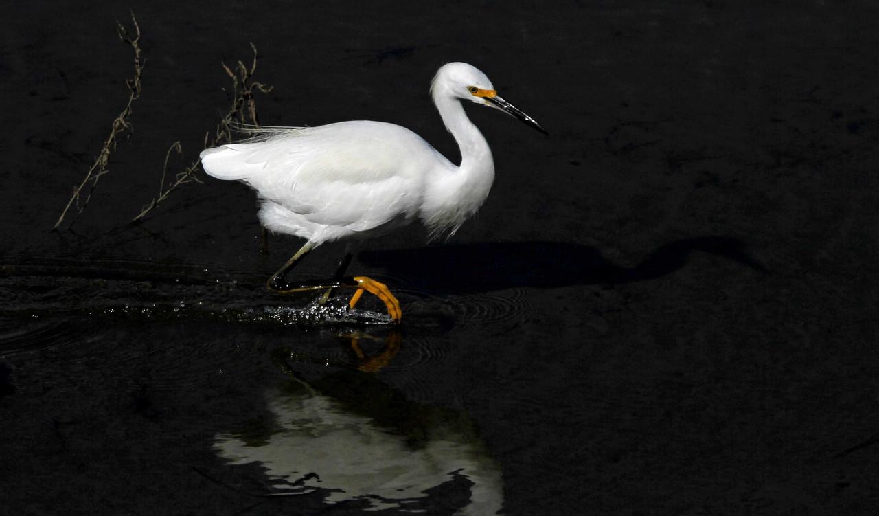 Snowy Egret - Bolsa Chica Wetlands, Huntington Beach