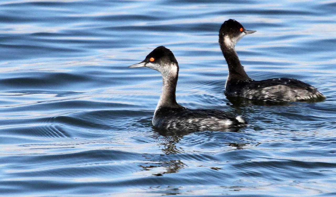 Eared Grebe - Bolsa Chica Wetlands, Huntington Beach