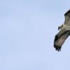 Osprey - Newport Beach Nature Preserve