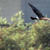 Northern Harrier - Bolsa Chica Wetlands, Huntington Beach