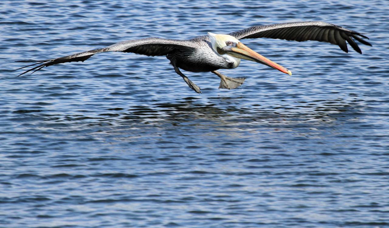 Brown Pelican - Bolsa Chica Wetlands, Huntington Beach