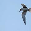Forster's Tern - Bolsa Chica Wetlands, Huntington Beach