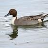 Northern Pintail - Bolsa Chica Wetlands, Huntington Beach