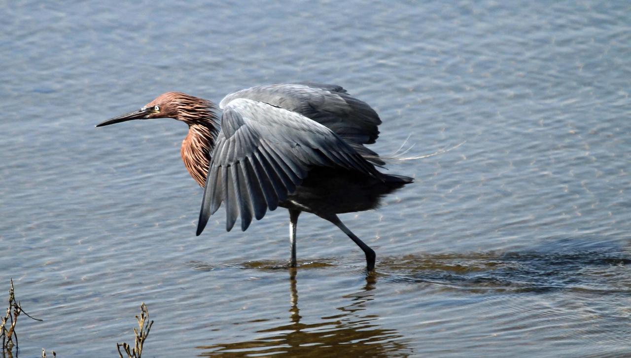 Reddish Egret  - Bolsa Chica Wetlands, Huntington Beach