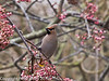 27 Dec 2010. Waxwing at Havant. Copyright Peter Drury 2010