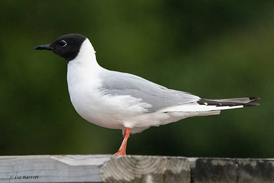 0U2A4195_Bonaparte's Gull