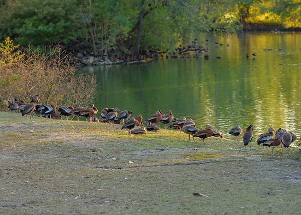 thousands of Black-bellied Whistling-Duck at Audubon Park, New Orleans, LA