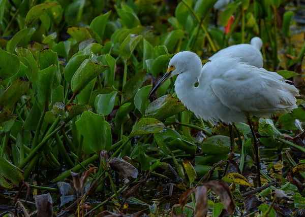 a Snowy Egret at Couturie Forest, New Orleans, LA