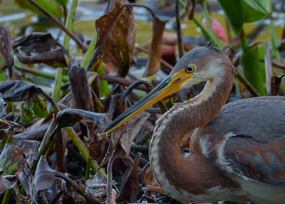 a Tricolored Heron at Couturie Forest, New Orleans, LA