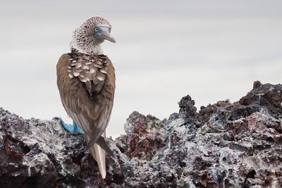 Blue-footed Booby - Punta Moreno, Isla Isabela, Galapagos, Ecuador