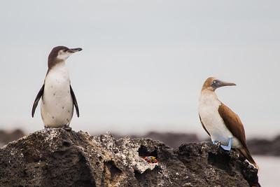 Galapagos Penguin & Blue-footed Booby - Galapagos, Ecuador