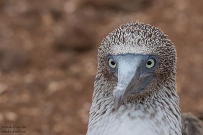 Blue-footed Booby - Galapagos, Ecuador