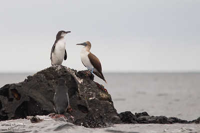 Galapagos Penguins & Blue-footed Booby -  Galapagos, Ecuador