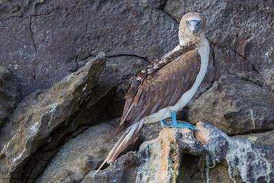 Blue-footed Booby - Prince Philip's Steps, Isla Genovesa, Galapagos, Ecuador.