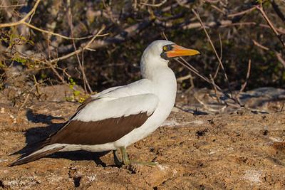 Nazca Booby - Isla Genovesa, Galapagos, Ecuador