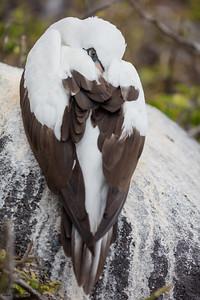 Nazca Booby - Galapagos, Ecuador