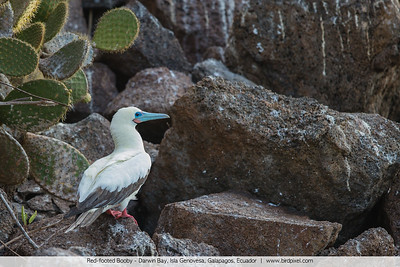 Red-footed Booby - Darwin Bay, Isla Genovesa, Galapagos, Ecuador