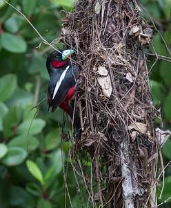 Black & Red Broadbill at Nest