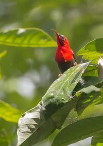 Temmick's Sunbird