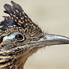 Greater Roadrunner with his crest raised.