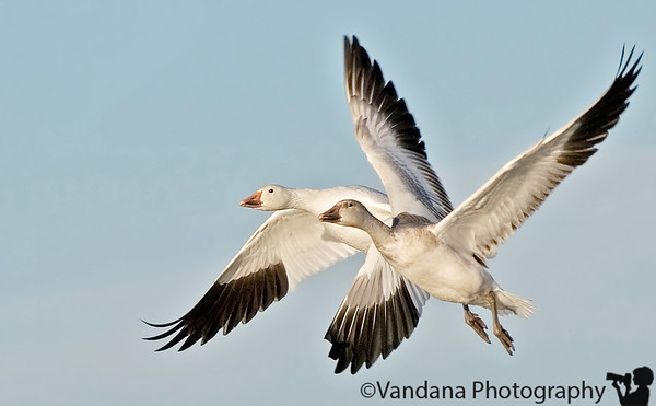 conjoined twins ?! snow geese pair in flight . snow geese in Bosque del apache national wildlife refuge