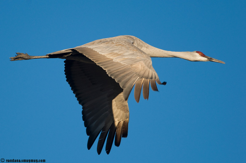 Sandhill crane in flight at Bosque del apache NWR, 2008