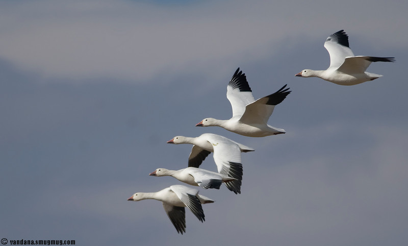 Snow Geese in Bosque Del Apache National Wildlife refuge, November 2007