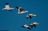Snow geese in flight at Bosque del apache