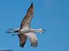 Sandhill crane in flight at Bosque del apache NWR, 2008
