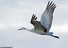 Sandhill crane at Bosque Del Apache National Wildlife Refuge