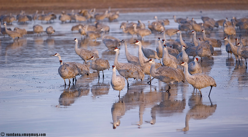 Sandhill crane at Bosque Del Apache National Wildlife Refuge