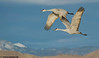 Bosque Del Apache, 2010 : trip to Bosque del apache National wildlife refuge, January 2010. About 4000+ sandhill cranes and reportedly 20,000 light geese. 