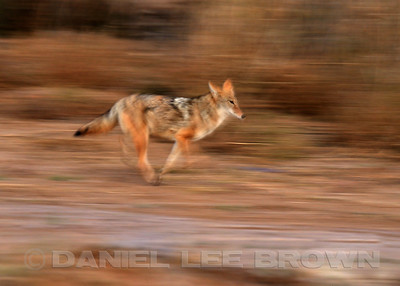 COYOTE ON THE RUN!