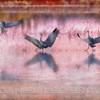 SANDHILL CRANES, PHOTO ILLUSTRATION