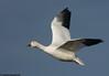 Snow goose in flight,At Bosque Del Apache NWR, Nov 2008  snow goose